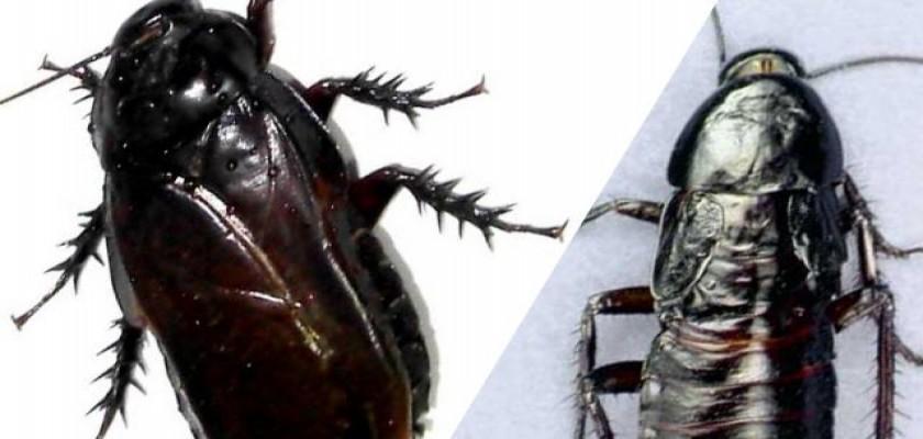 Hamamböceği Hakkında Bilinmeyenler